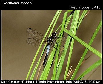 Lyriothemis mortoni