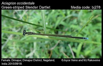 Aciagrion occidentale