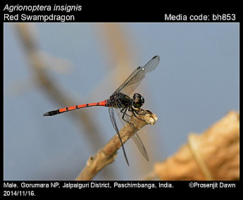 Agrionoptera insignis
