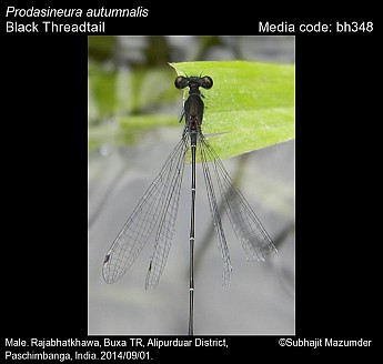 Prodasineura autumnalis