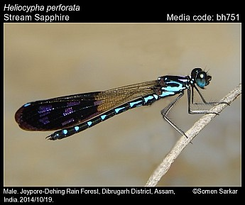 Heliocypha perforata