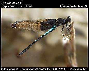 Dysphaea walli