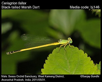 Ceriagrion fallax