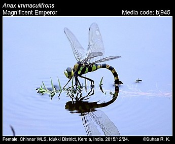 Anax immaculifrons