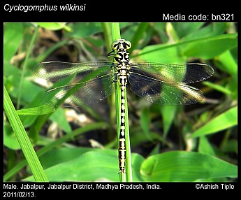Cyclogomphus wilkinsi