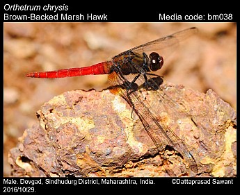Orthetrum chrysis