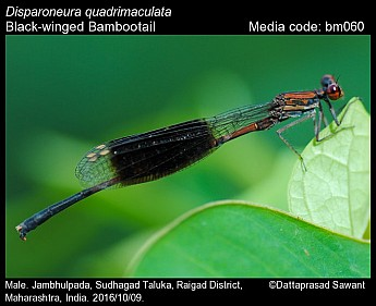 Disparoneura quadrimaculata