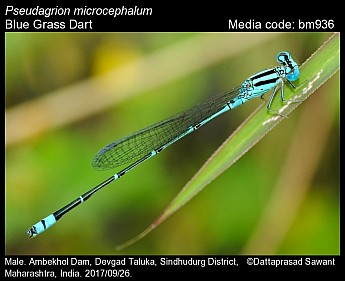 Pseudagrion microcephalum