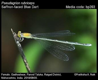 Pseudagrion rubriceps - Saffron-faced Blue Dart - Odonata of India