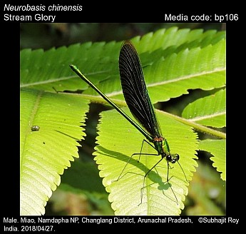 Neurobasis chinensis