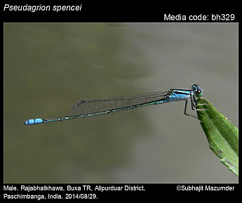 Pseudagrion spencei