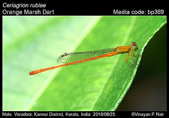 Ceriagrion rubiae