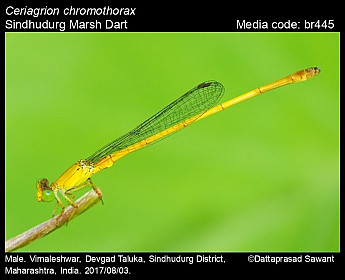 Ceriagrion chromothorax