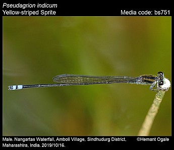 Pseudagrion indicum