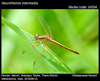 Neurothemis intermedia