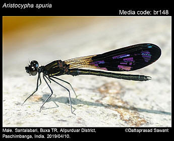 Aristocypha spuria