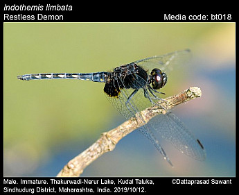 Indothemis limbata