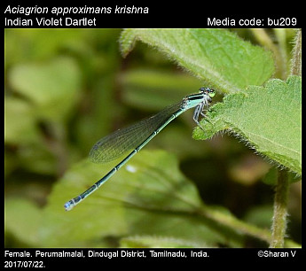 Aciagrion approximans