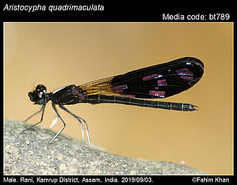 Aristocypha quadrimaculata