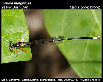 Copera marginipes