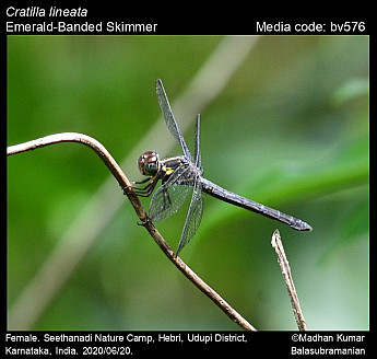 Cratilla lineata