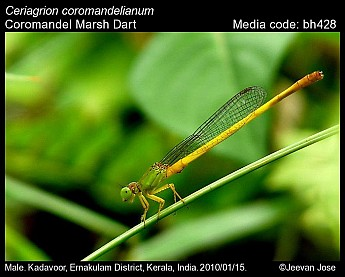 Ceriagrion coromandelianum