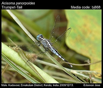 Acisoma panorpoides