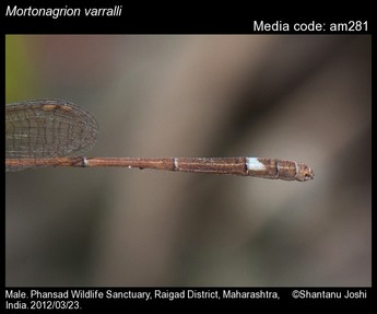 Mortonagrion varralli